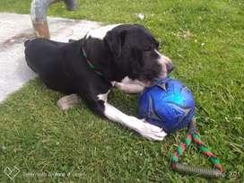 Perro raza pitbull edad 12 meses en adopción