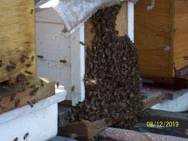 Colmenas, nucleos de abejas, apicultura