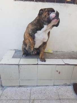 Bulldog Ingles Busca Novia