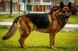 Hermosa cachorra pastor alemán rojo fuego de pelo largo