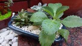 Mini Jardines Naturales - Plantas Suculentas