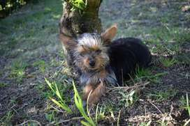 Yorkshire Terrier hembra, Yorkie de Cancan Mascotas