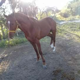 Vendo caballo puro 6 año