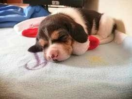 Beagles hermosos