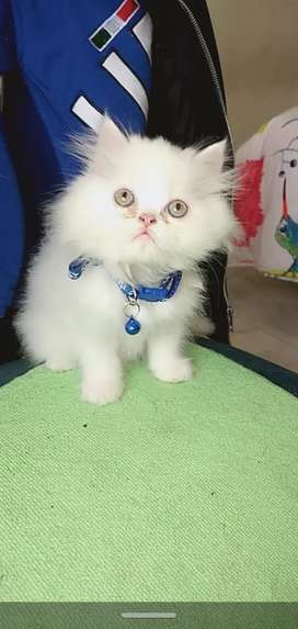 Gato persa raza pura