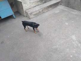 Cachorro doverman pincher de 5 meses