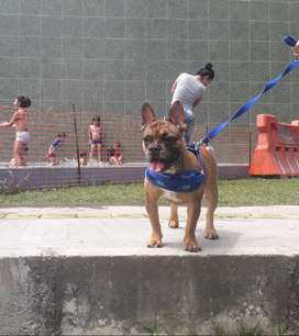 Bulldog francés paw merle de 6 meses, vacunas al día.