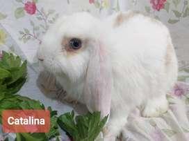 Conejo hollan lop de orejas caídas 70 dias
