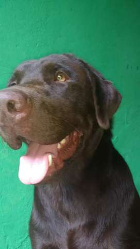 Labrador servicio de monta