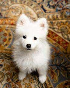 Samoyedos puros cada cachorros entrega acompañados de portafolio de garantías