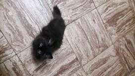 Gatito Persa ¡¡¡PRECIOSO!!!