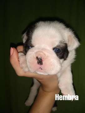 Cachorros Bulldog ingles disponibles