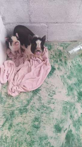 Mini pig en venta