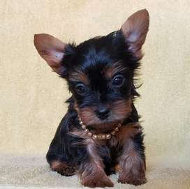 Yorkshire Terrier mini macho