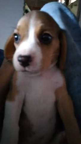 Hembra  y macho beagles