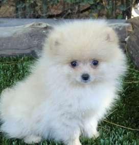 Pomerania mini toy lulú