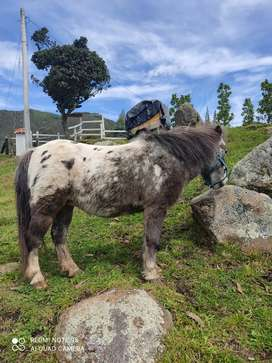 Vendo pony hembra mini horse