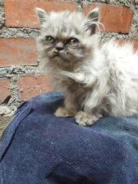Gatos persa color plomo macho bello  ojos verdes