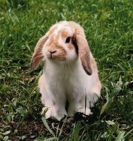 Conejos Belier (Lop)