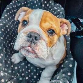 bellos caninos bulldog ingles de 55 dias vacunados