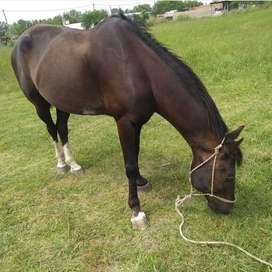 Vendo caballo $25.000 muy manso para niños chicos