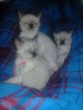 Se venden gatos siameses (2 machos y 2 hembras)