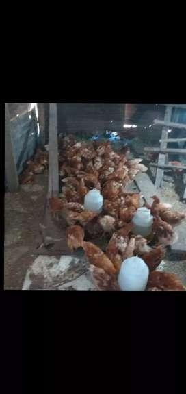 Vengo gallinas nuevas