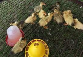Patos con copete