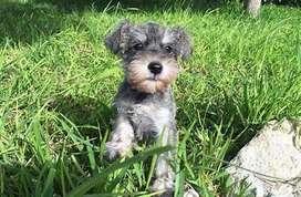 Hermosos perritos salpimienta raza pequeña schnauzer