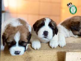 Cachorros San Bernardo,Golden Retriever,schnnauzer,shitzu,Pug,Husky,Cocker,Doberman,shar pei,westy,yorki en Pet Vital