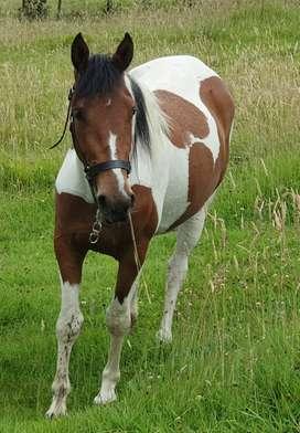 Hermosa yegua pinto americana 3 años