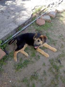 Vendo cachorra pastor aleman super juguetona
