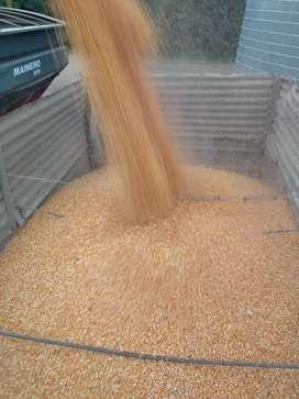 Vendo maíz consumo
