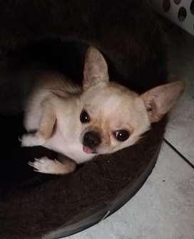 Toy Chihuahua para monta