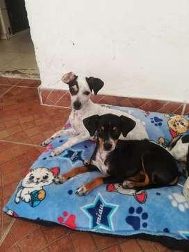 Son 2 perros Pinché