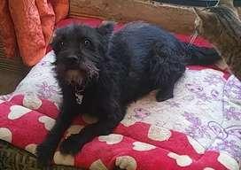 Lindo perrito raza terrier escocés, edad 10 meses en adopcion
