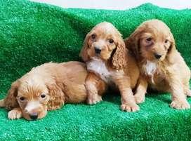 Adorables cachorros cocker Spaniel