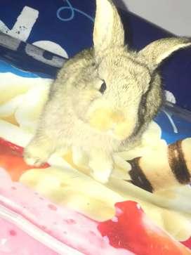 Conejos cabeza de León y holandes