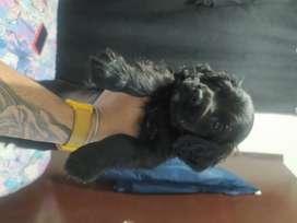 Hermosa Cocker Spaniel Negra