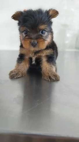 Yorkshire terrier ejemplar raza mini con 45 dias