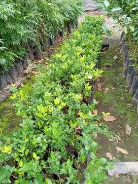 Plantas de citricos.  Se realizan envios