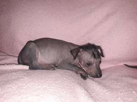 Perro crestado chino, perro sin pelo argentino, pila.con pedigree