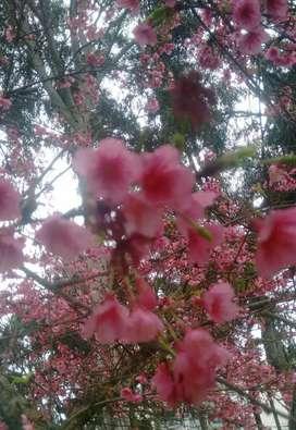 Sakura O Cerezo Japones Para Bonsai, árbol O Semillas