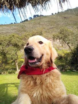Servicio de monta _ golden retriever