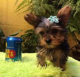 Vendo hermosa perrita yorshire mini