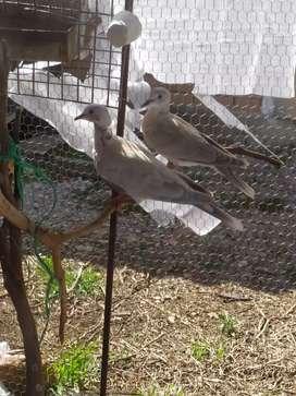 Venta de palomas collarinas