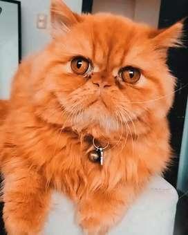 Gato Persa Extremo (Monta)
