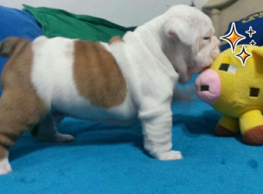 Bulldog Inglés 0
