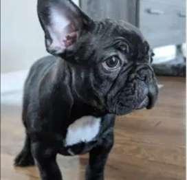 arrugados bulldog frances 54 dias