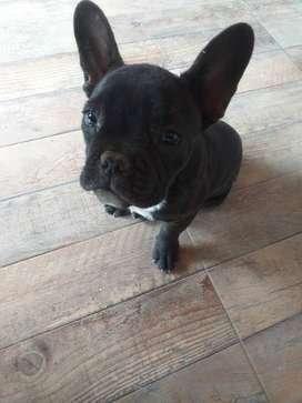 Bulldog frances 3 meses